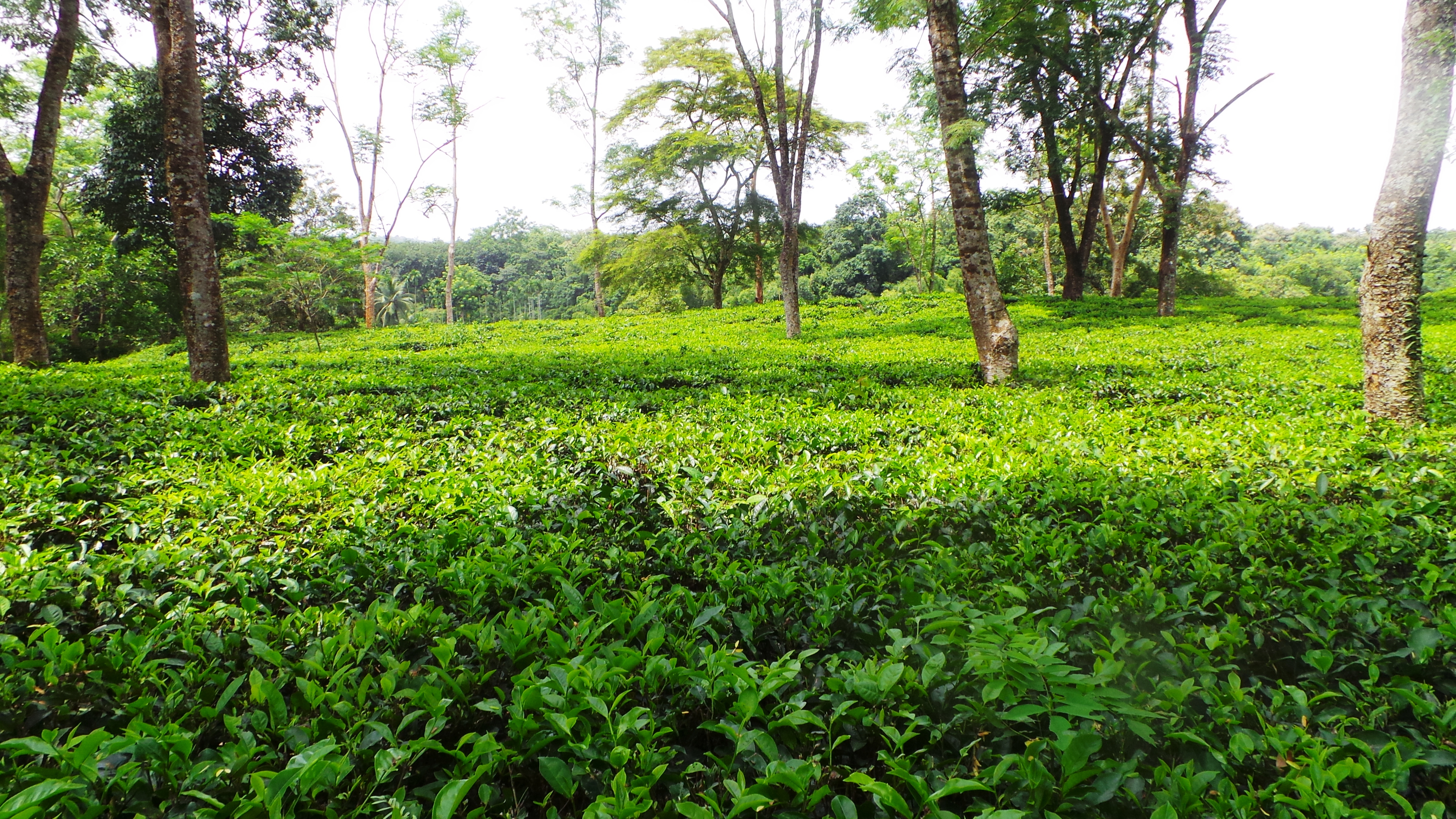 Description: tripura_tea.jpg